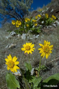 Balsamroot at Cottonwood Canyon State Park