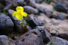 Monkey-flower