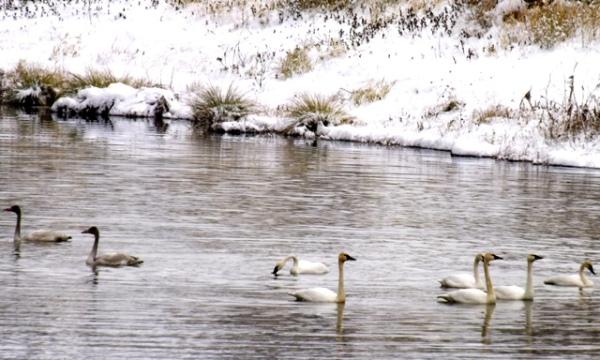2014-11-14  2035 tundra swans yes