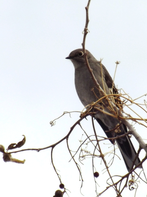 2014-11-14  2077  Townsend's Solitaire yes