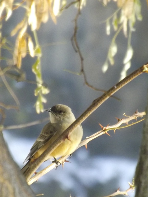 2014-11-15  2049  unknown probably a flycatcher yes