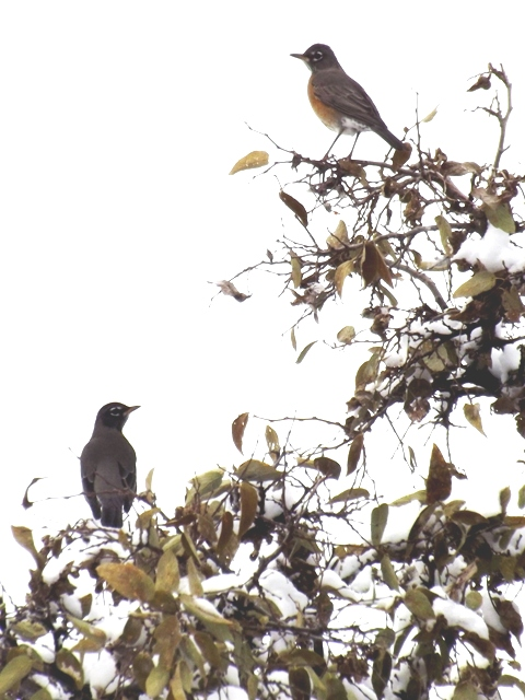 2014-11  Robins in Hackberry
