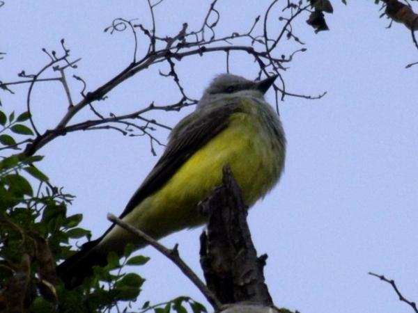 2015-04-20  0006  Western Kingbird