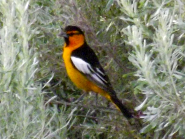 2015-05-10  0059  Northern Oriole