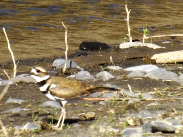 2015-05-18  0038  Killdeer