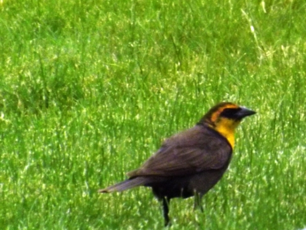 2015-05-25  0013  Female Yellow Headed Blackbird