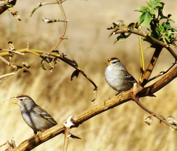 2015-11-07  2960  Chipping Sparrow