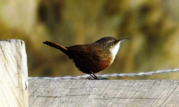 2015-11-07  3002  Canyon Wren yes
