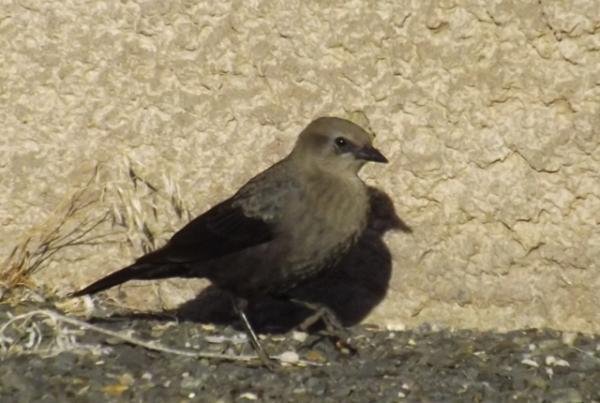 2015-11-07  3015  unknown  cowbird