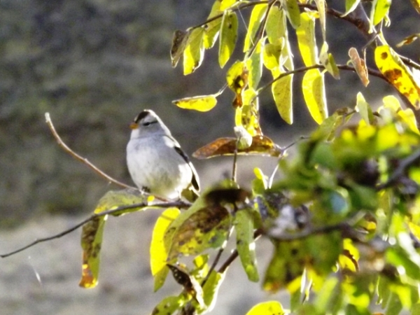 2015-11-07  3059  white crowned sparrow yes