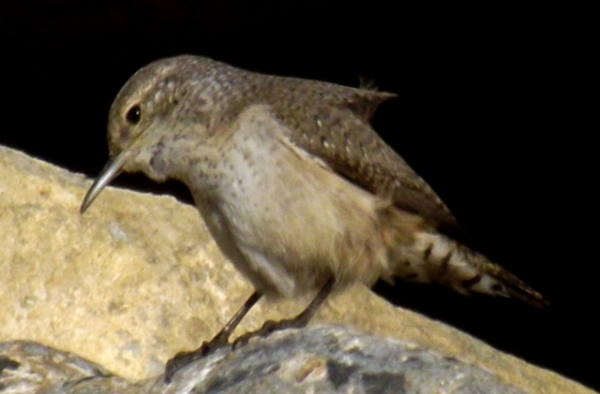 2015-11-09  3112rock wren yes