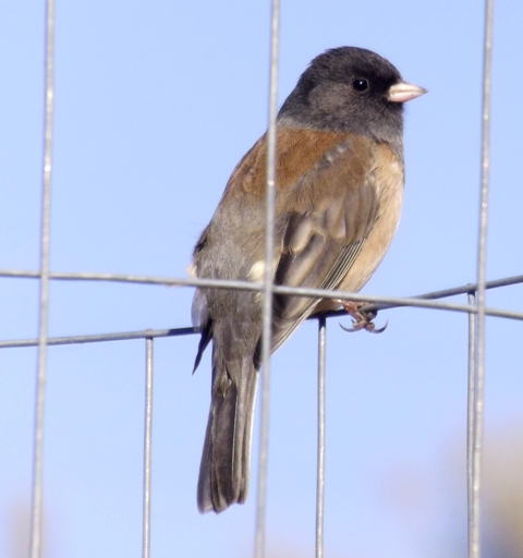 2015-11-10  3206  Oregon Junco yes