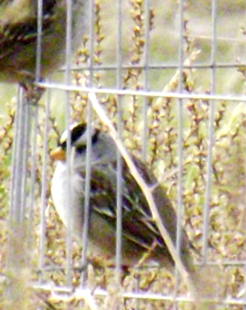 2015-11-24  3540 white crowned sparrow