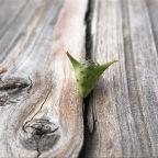 Weed of the Week: Puncturevine
